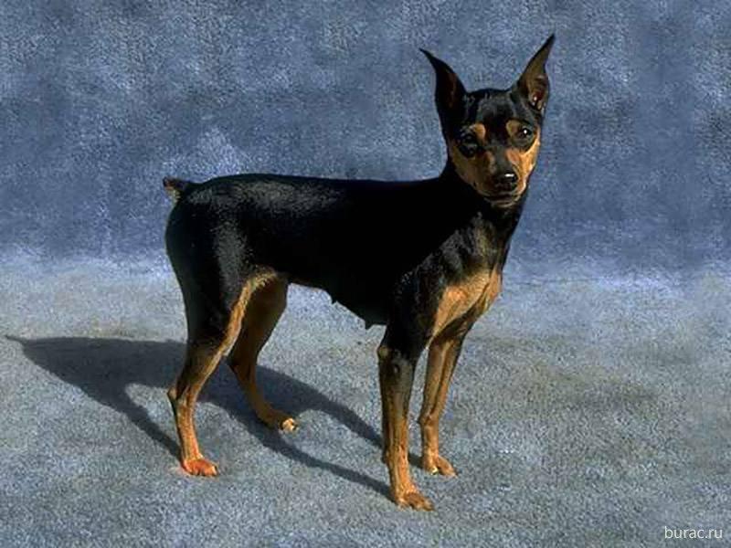 пинчер карликовый собака фото